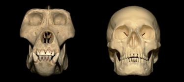 human teeth vs gorilla teeth