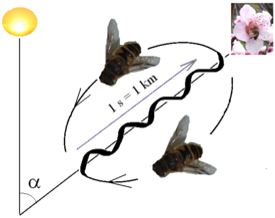 honey bee waggle dance with reference to sun angle
